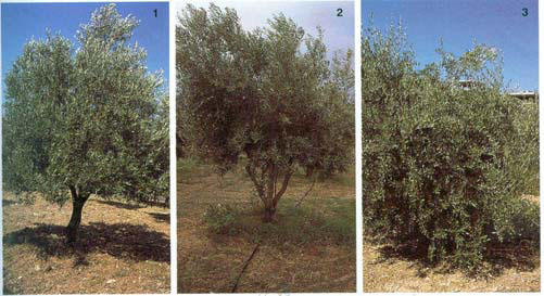 Olive pruning systems