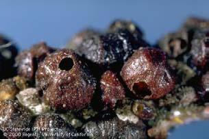 Λεκάνιο με οπές εξόδου της Scutellista cyanea