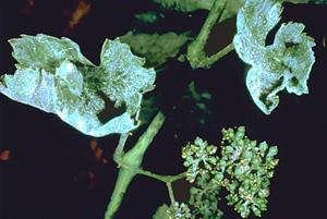 Σταχτιά φύλλων από ωΐδιο