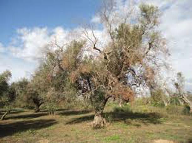 Αποξηραμένη ελιά στην Νότιο Ιταλία